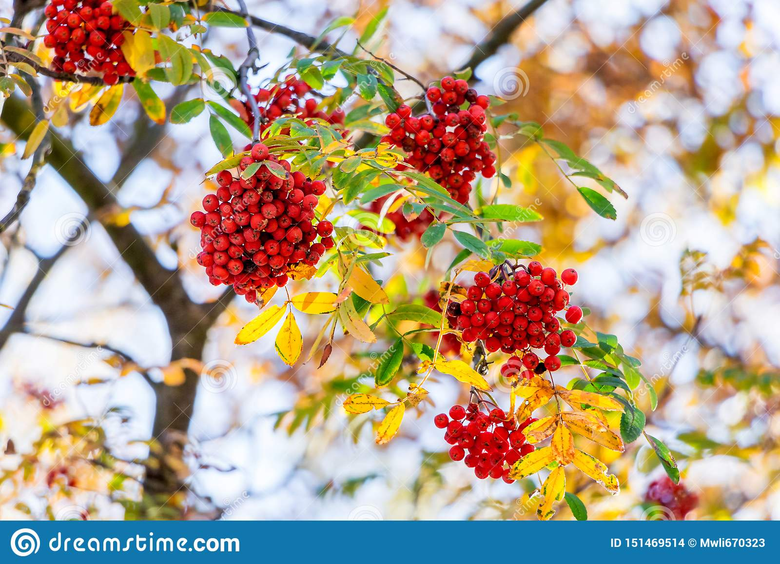Red berries in the mountain ash on the tree among the colorful autumn leaves_