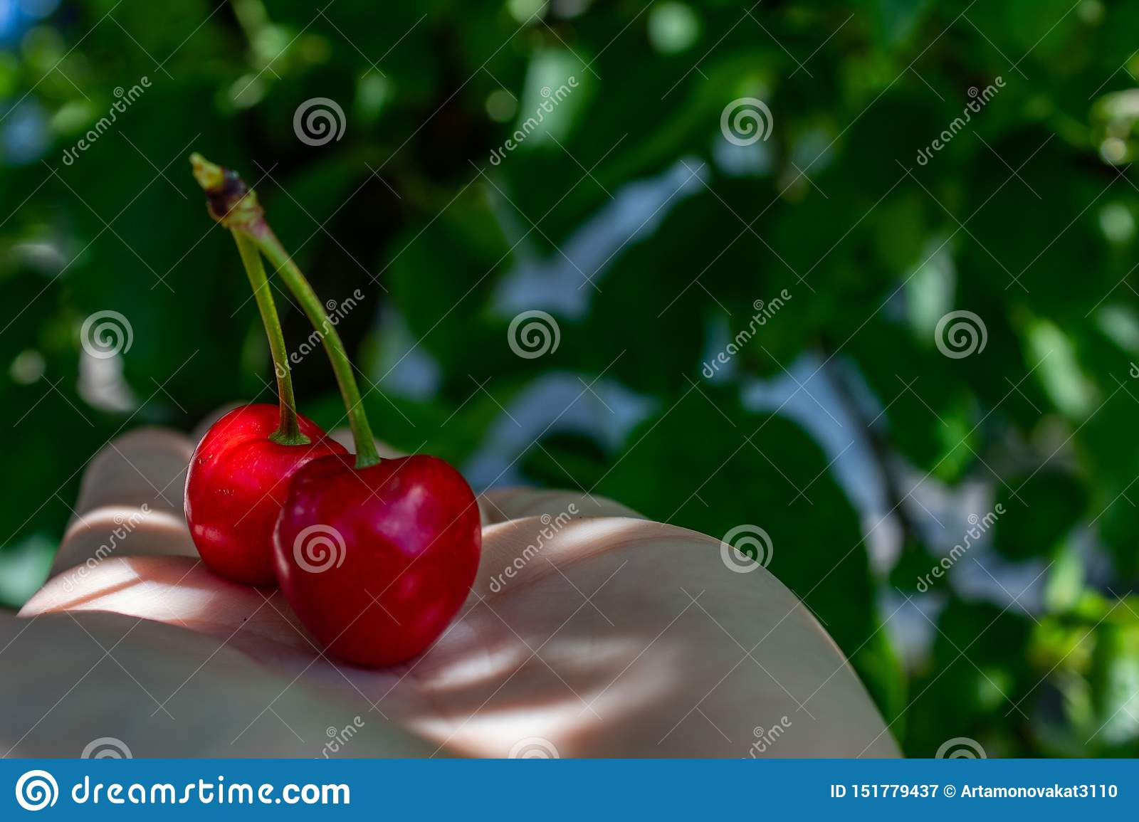 2 red berries of sweet cherry, lie on a female hand