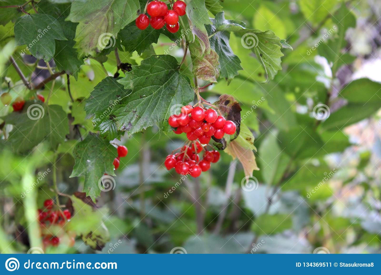 Red Berries On A Tree In Autumn Stock Image Image Of Berries