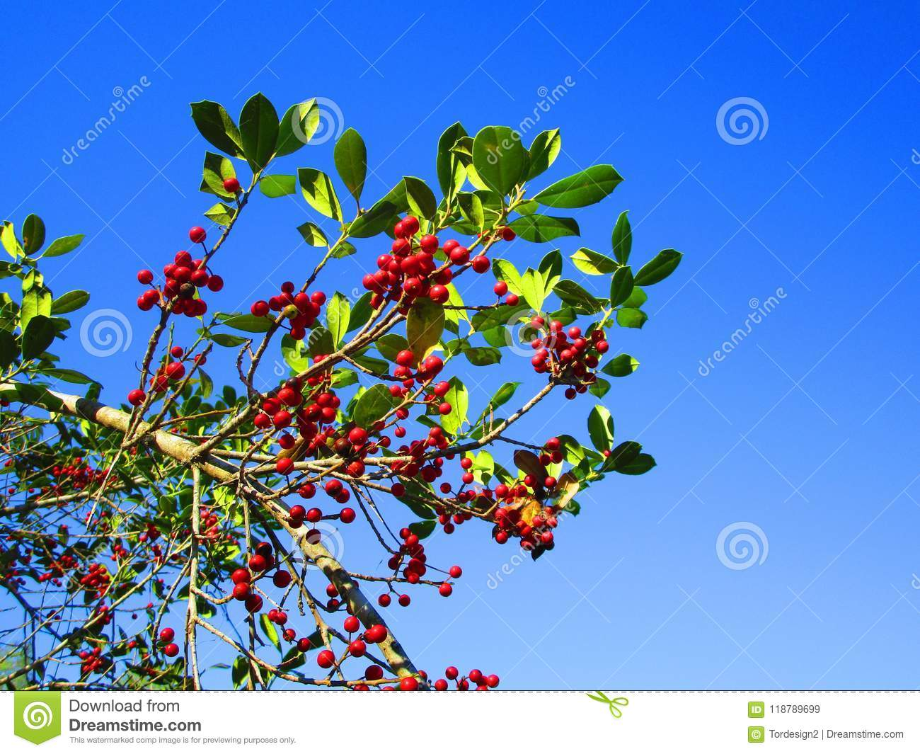 Red Berries On A Tree In Florida Stock Image Image Of Springtime