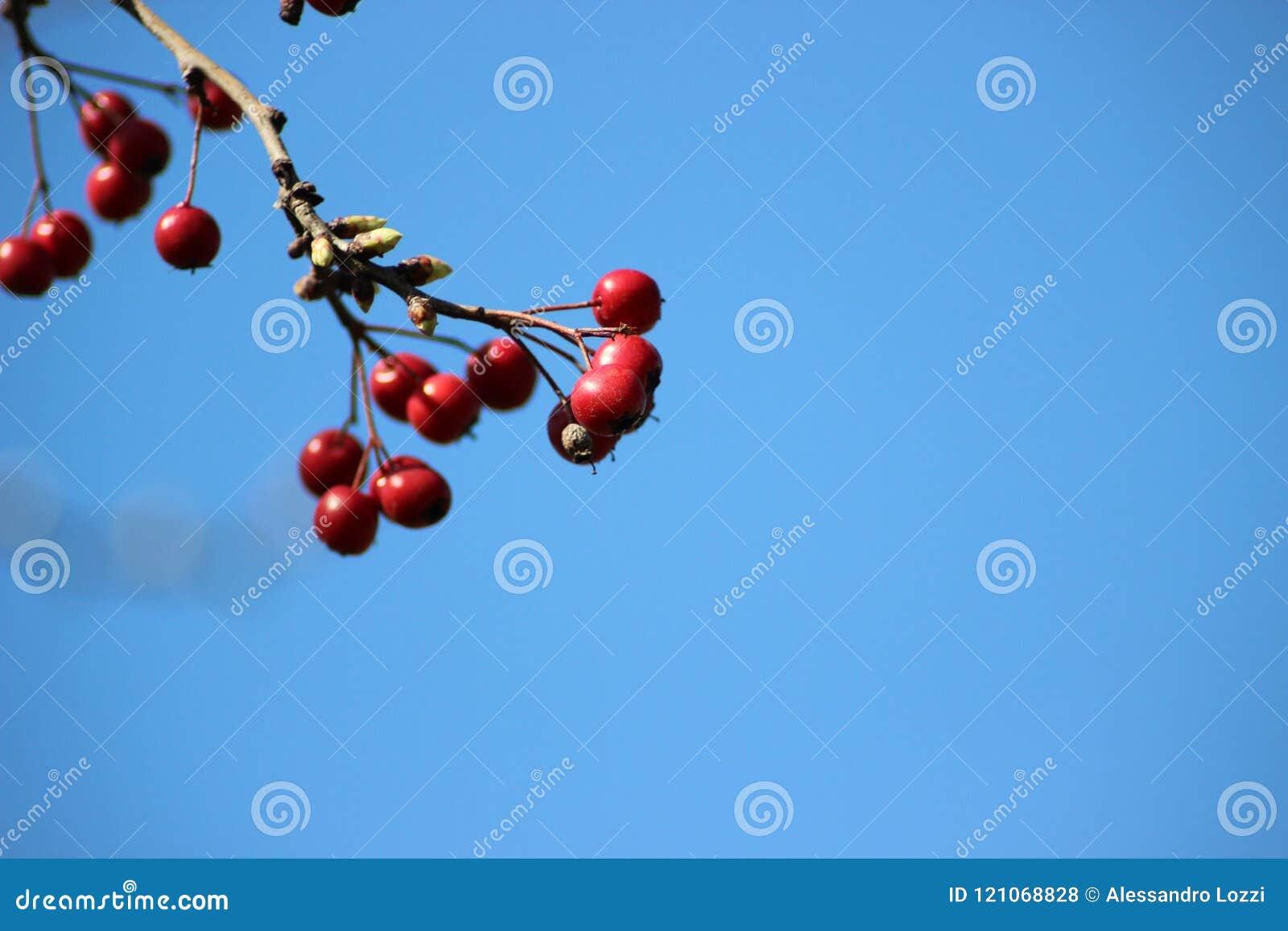 Red berries in a vivid blue sky