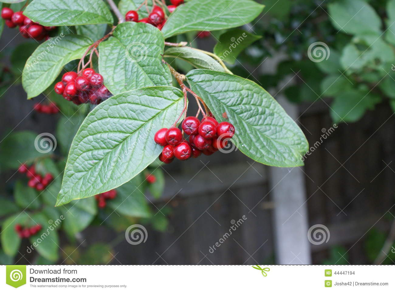 Red Berry Bush Stock Photo Image Of Gardens Fruit Fence