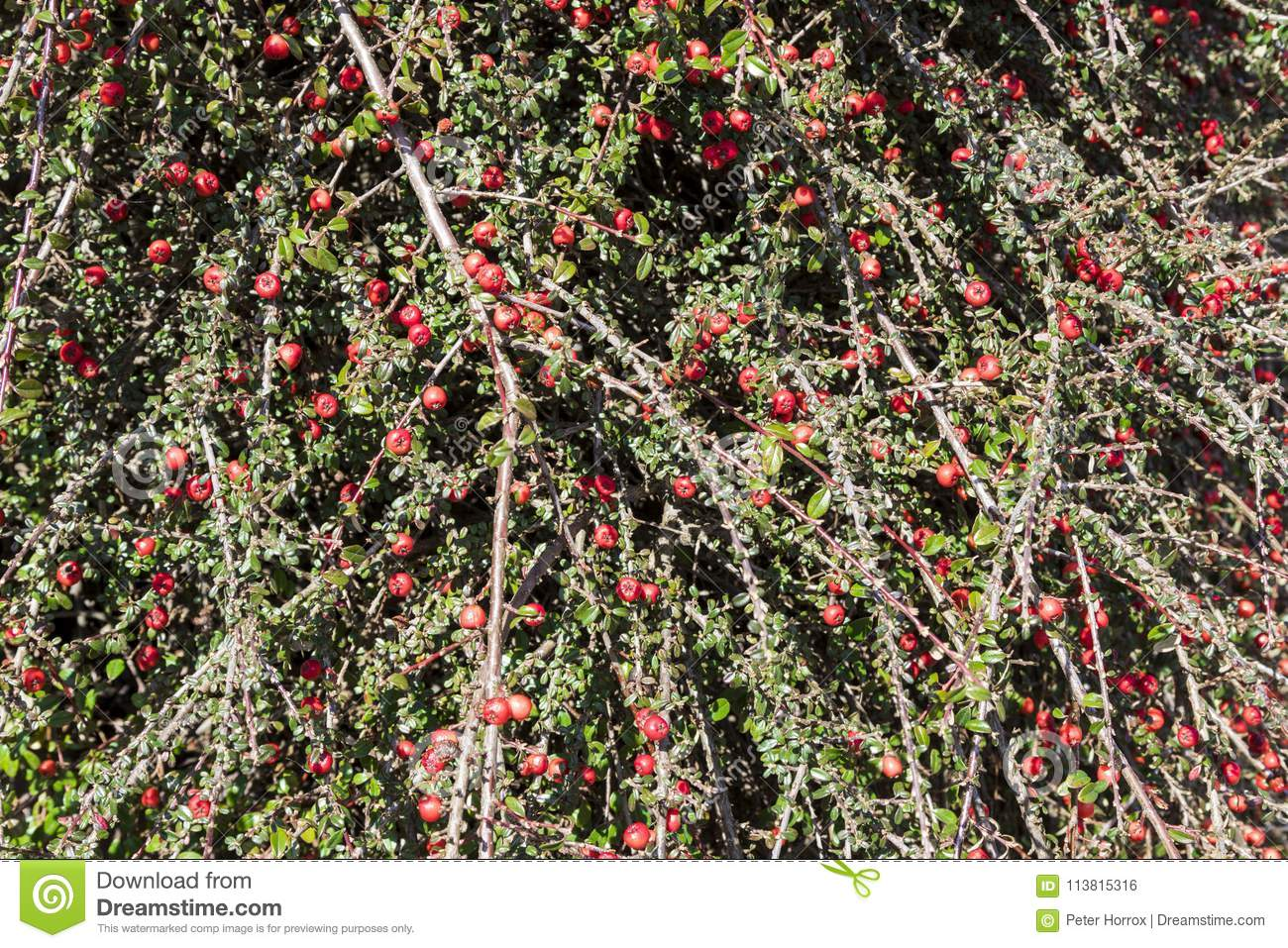 Red Berry Bush Stock Photo Image Of Herb Containing 113815316