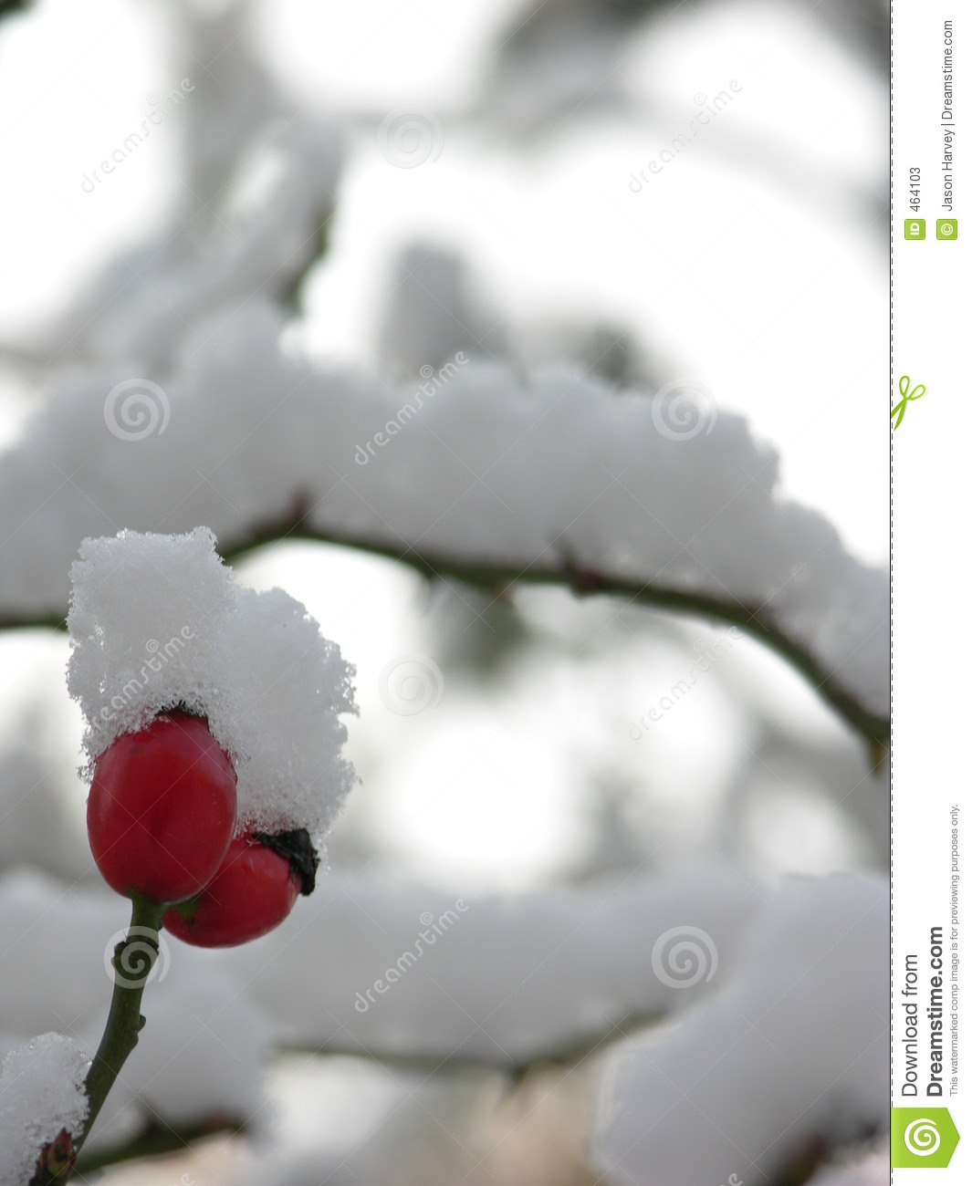 Download Red Berry in Snow stock image. Image of rose, cold, winter - 464103