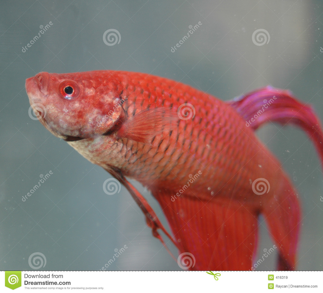 Red beta fish royalty free stock images image 416319 for What is a beta fish
