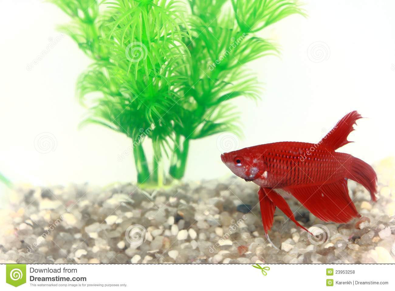 Red beta fish in a small fish bowl stock photo image for Small fish bowl