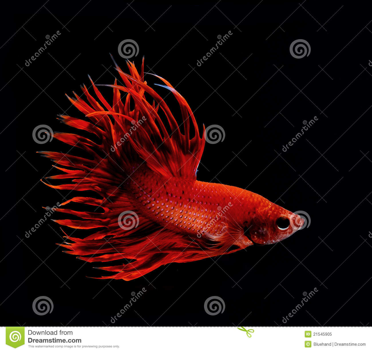 Dark red betta fish - photo#17