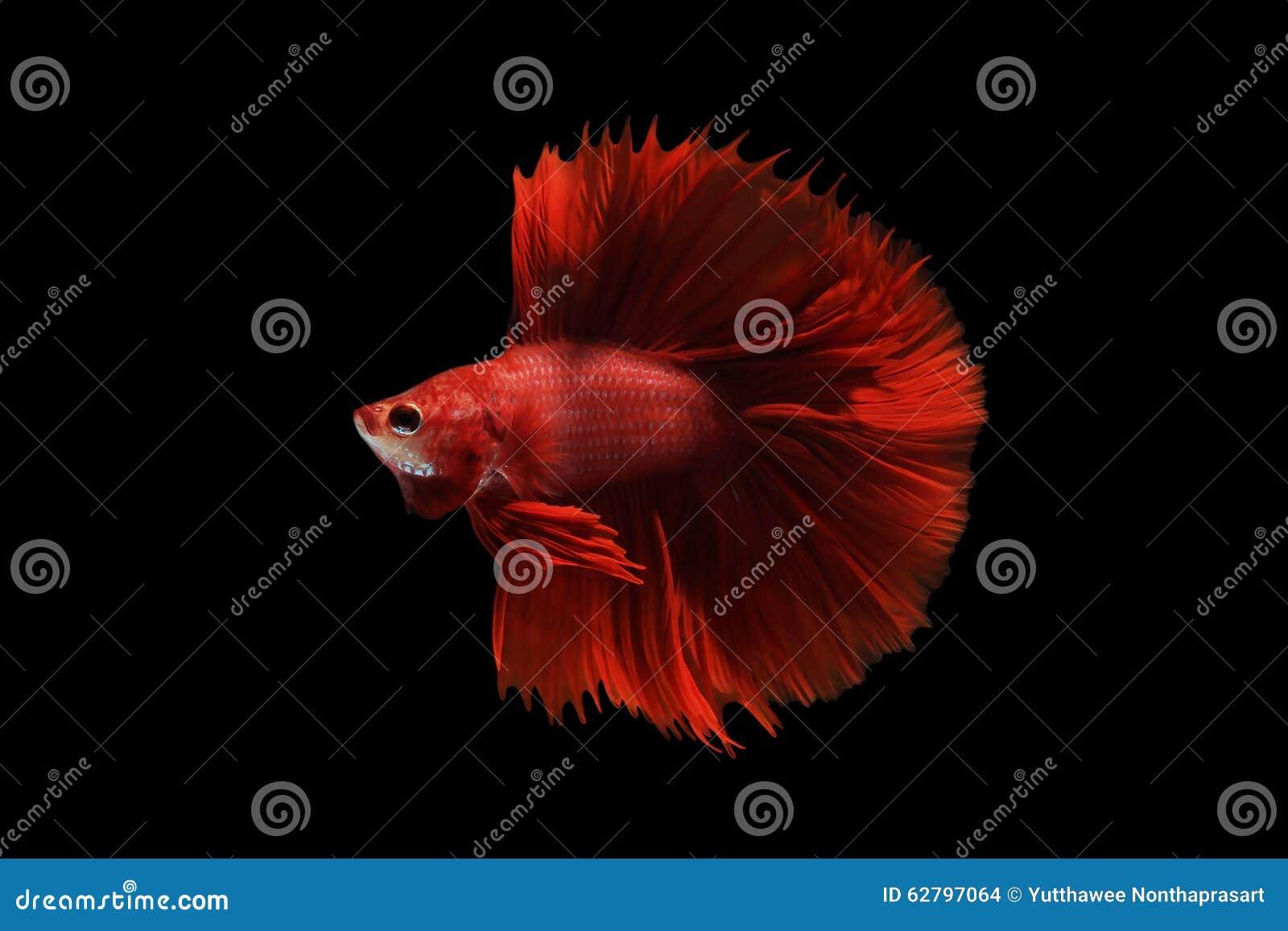 Red betta fish stock photo. Image of colorful, betta - 62797064