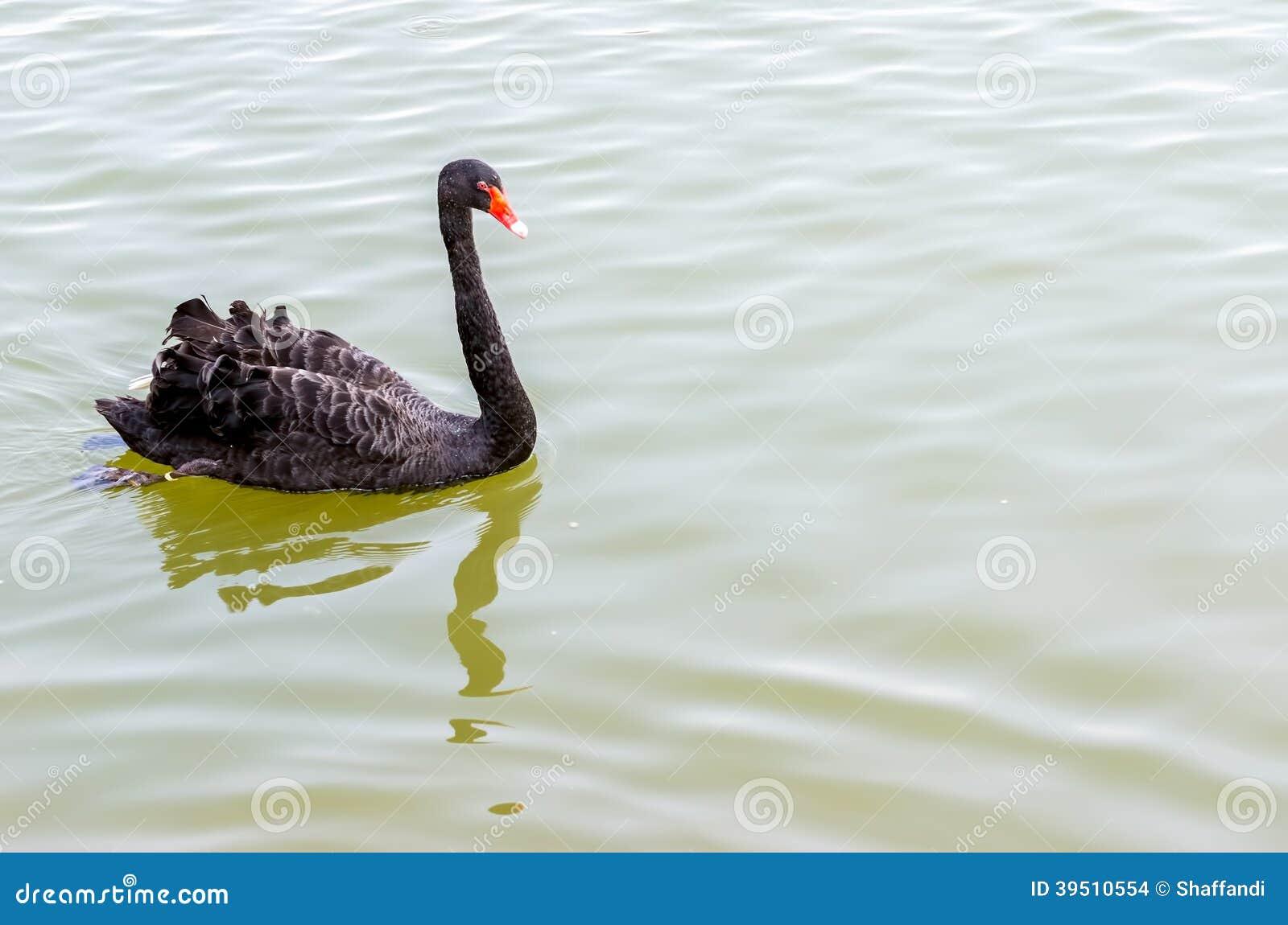 The red bill black swan