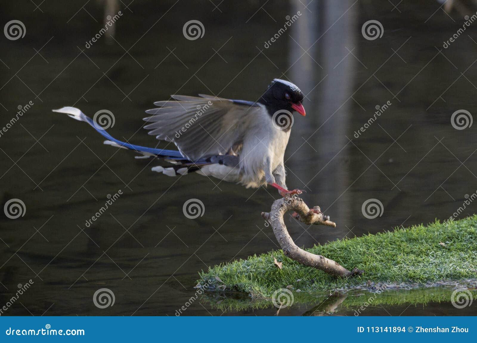 Red - billed blue magpie