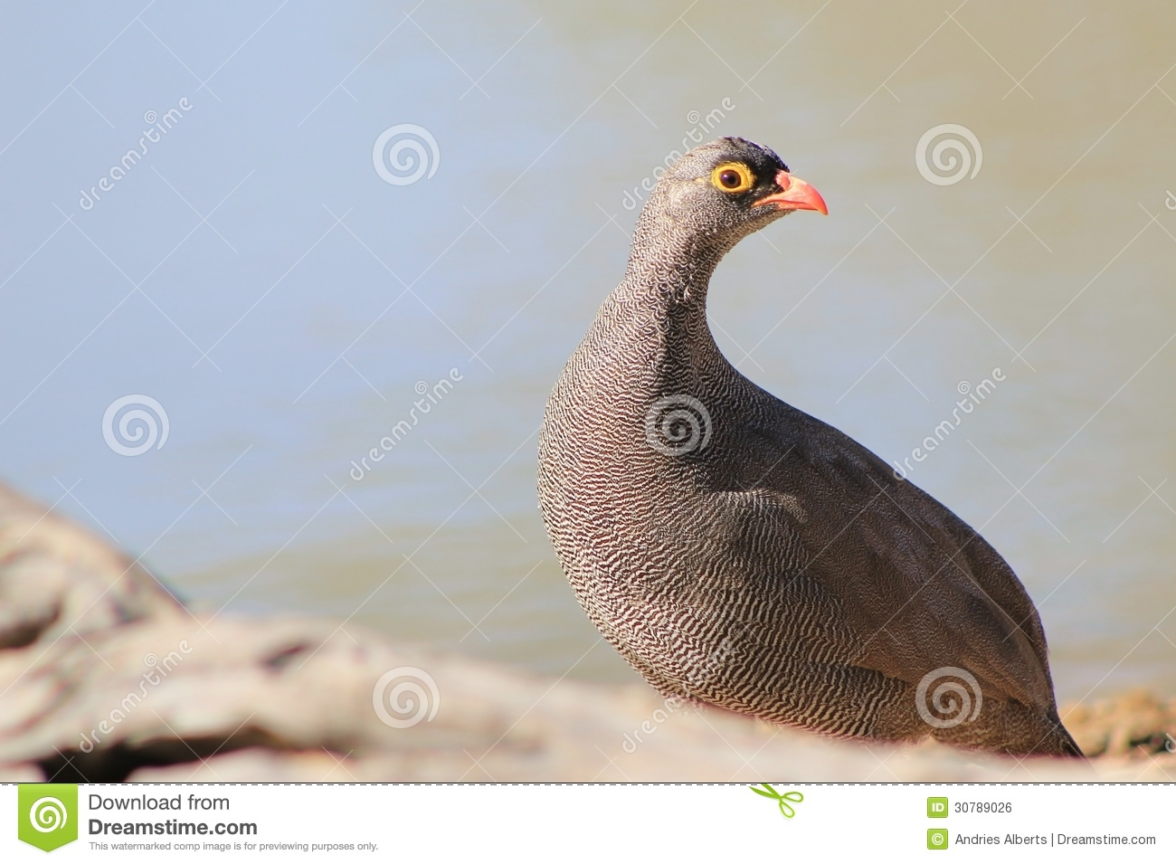 Wild Birds In Africa Red-billed Francolin -...