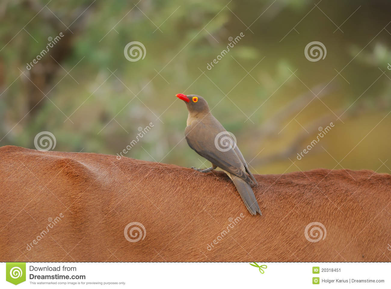 red billed oxpecker and impala relationship quotes