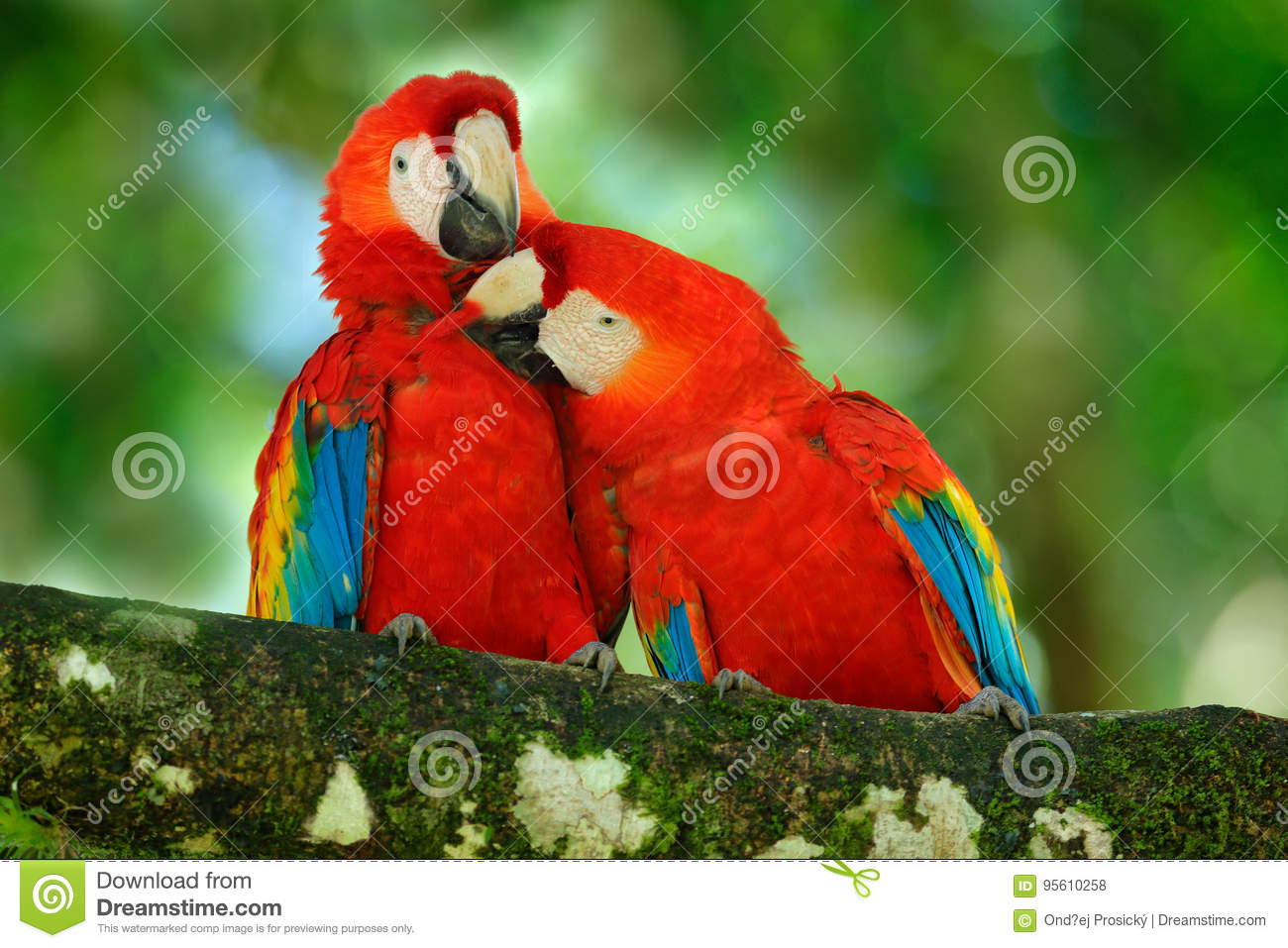 Red bird love. Pair of big parrot Scarlet Macaw, Ara macao, two birds sitting on branch, Costa rica. Wildlife love scene from trop