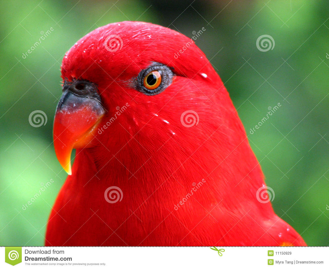 Red Bird Wet After The Rain Royalty Free Stock Images - Image ...