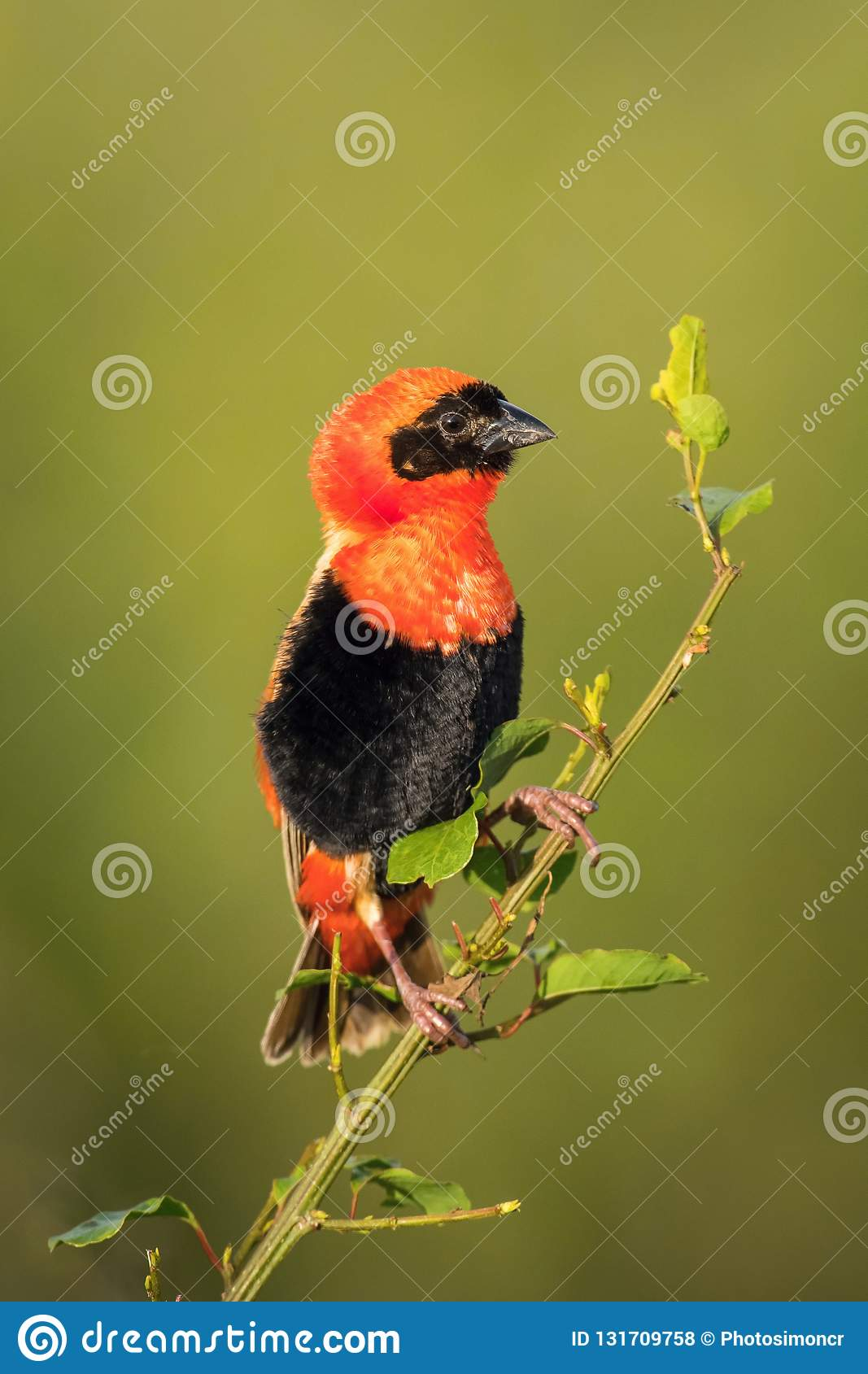 The Red Bishop, Euplectes orix is sitting on the branch and posing. Male is showing off. It is flying red gem of Uganda, green