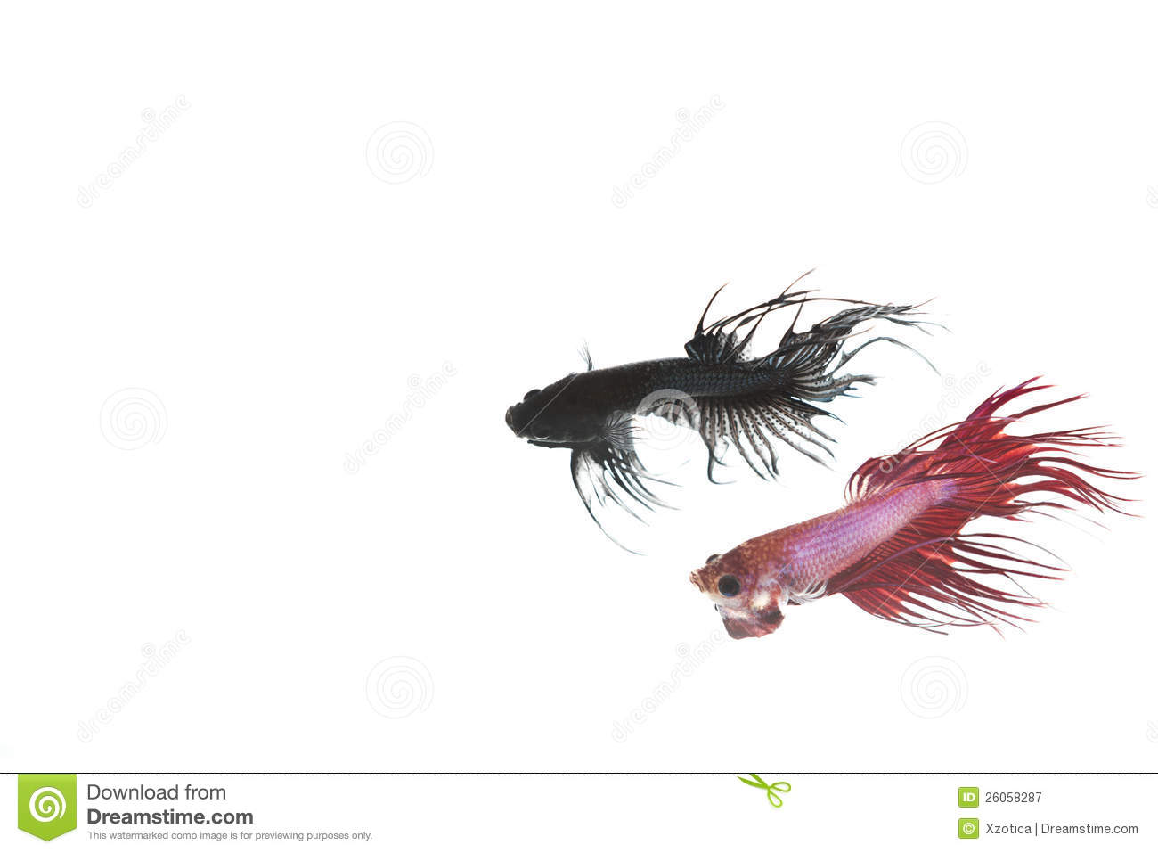 Dark red betta fish - photo#28