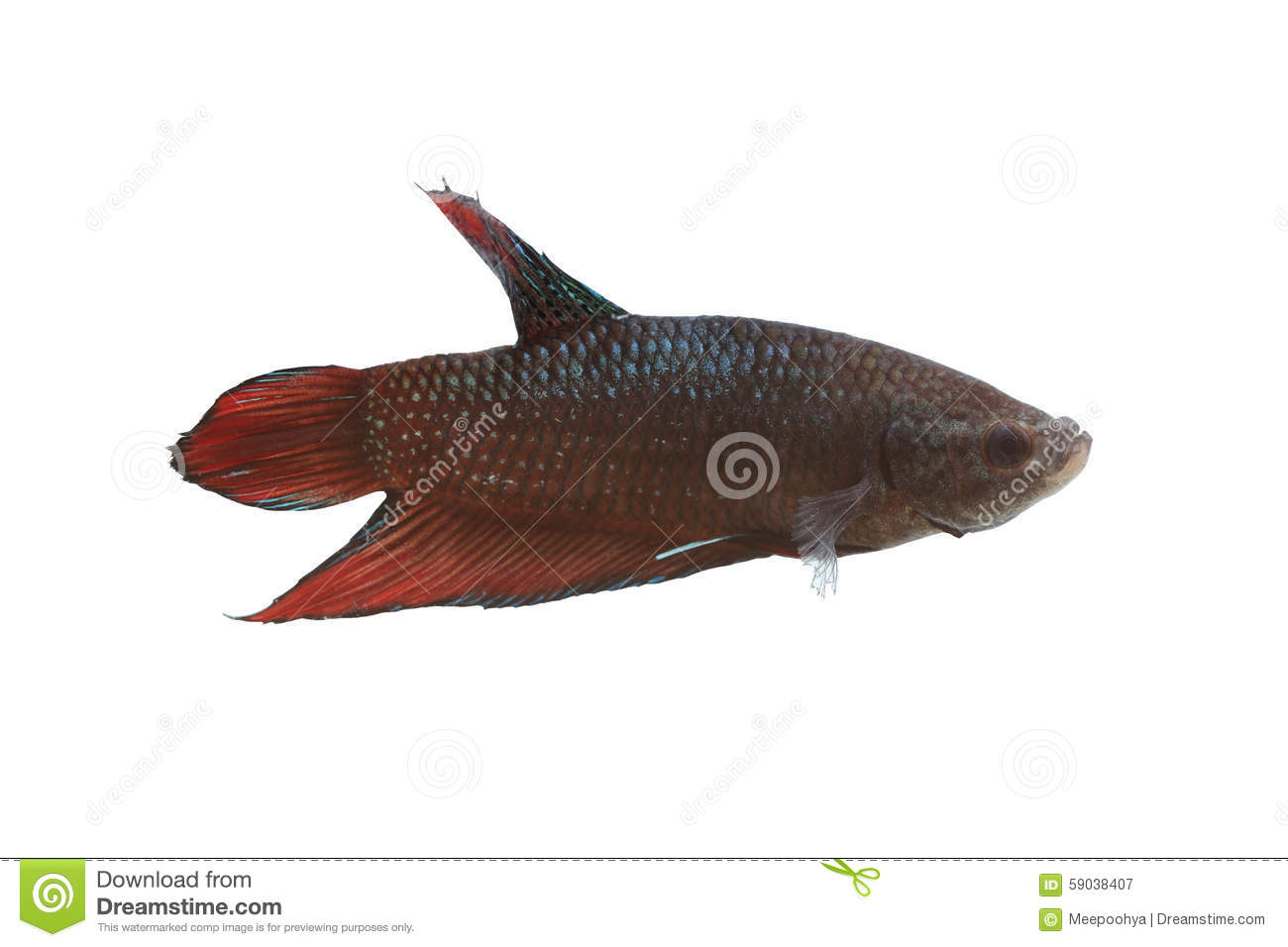 Red and black fighting fish species thailand stock for Types of red fish