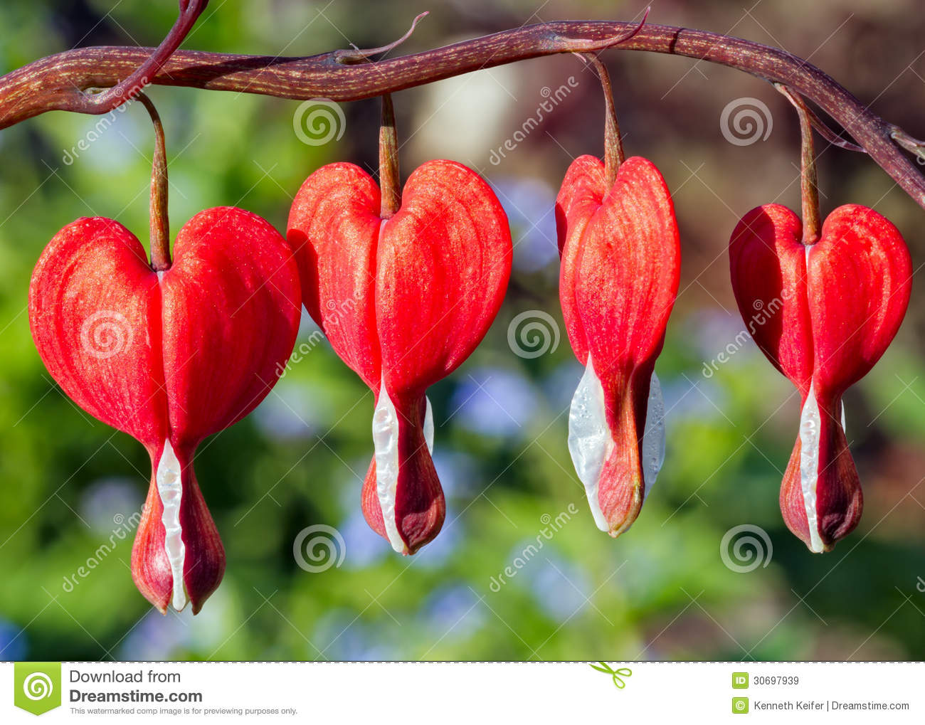 Red Bleeding Heart Flowers Royalty Free Stock Images ...
