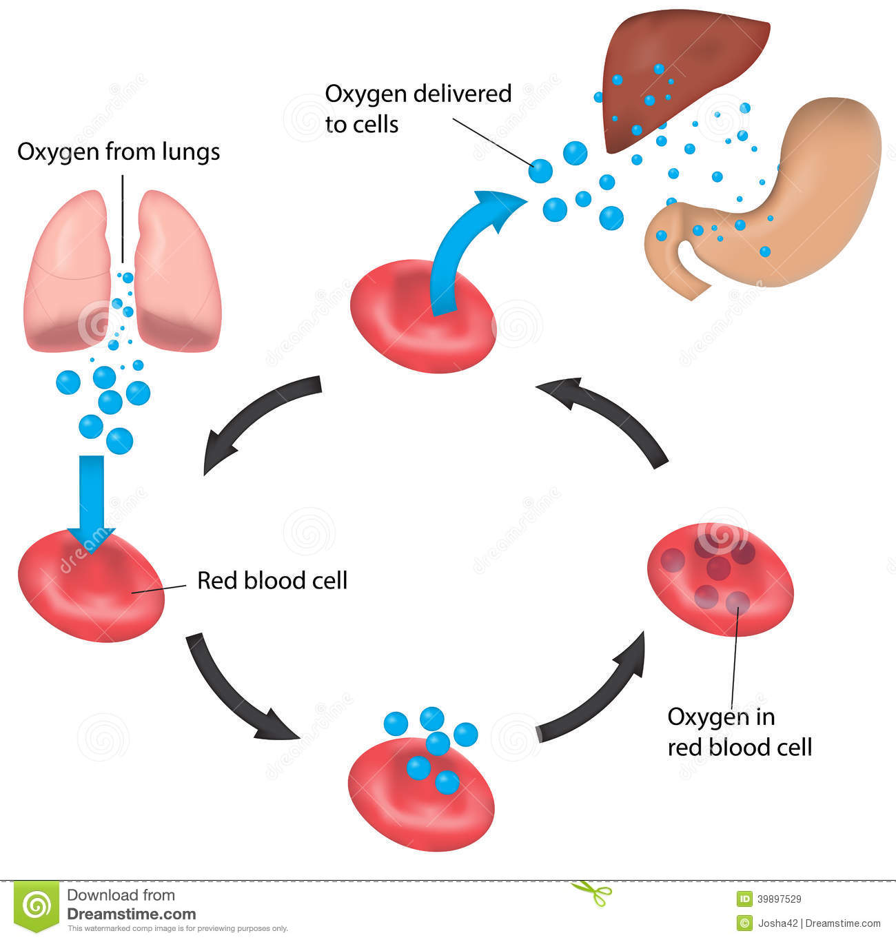 Royalty Free Stock Images Red Blood Cell Cycle Respiration Labeled Liver Stomach Educational Otherwise Tool Image39897529 on Color Life Cycle 7