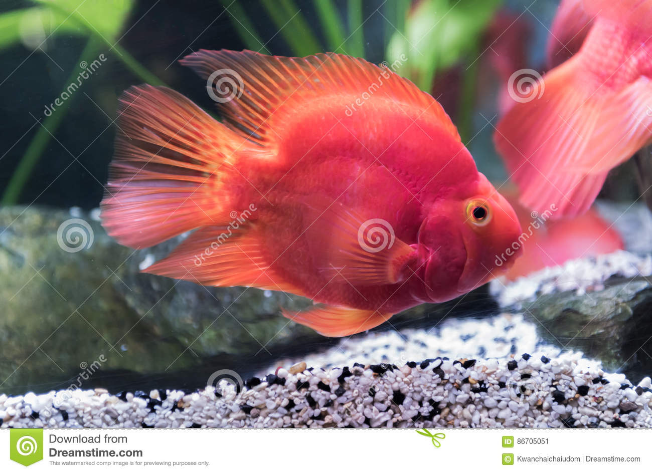 Red Blood Parrot Fish Stock Photos - 115 Images