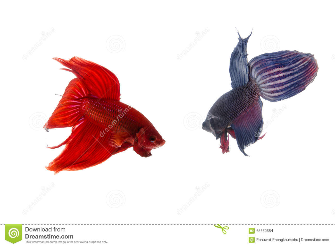 Red And Blue Betta Fish, Siamese Fighting Fish Isolated On White ...