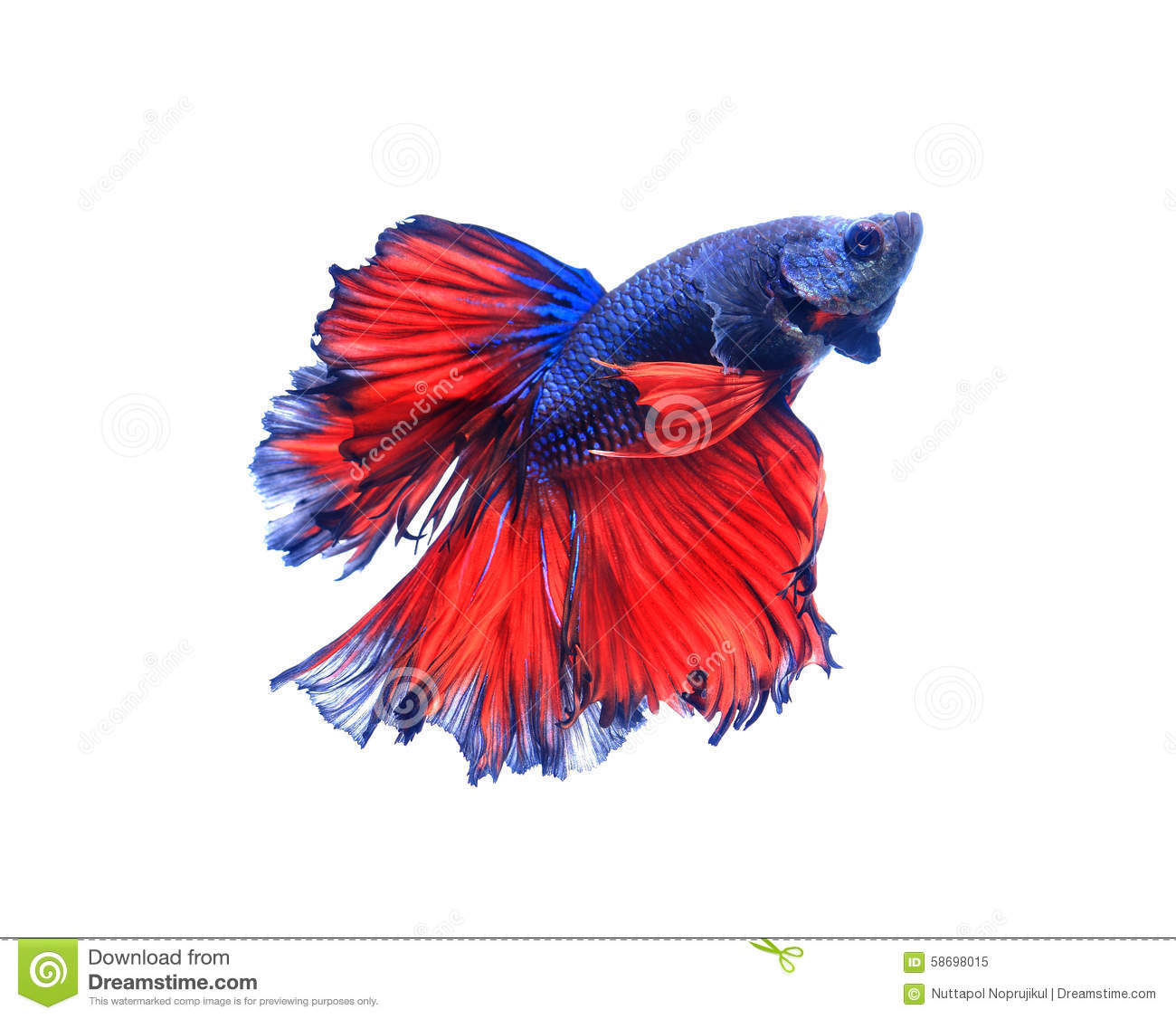 Red And Blue Half Moon Butterfly Siamese Fighting Fish, Betta F ...