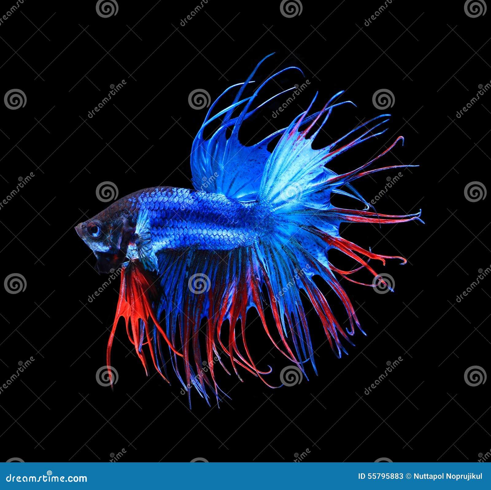 Halfmoon Betta On Black Background Beautiful Fish