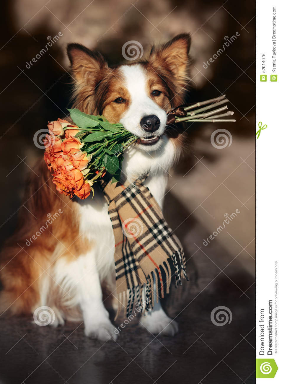 Red Border Collie dog holding a bouquet of flowers