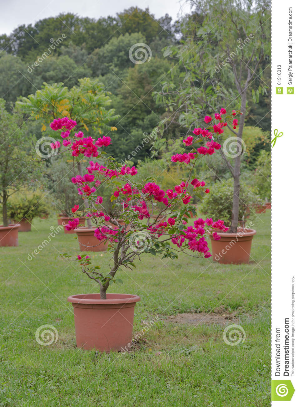 Red Bougainvillea Flower In Pot Outdoor Stock Image - Image of grass ...