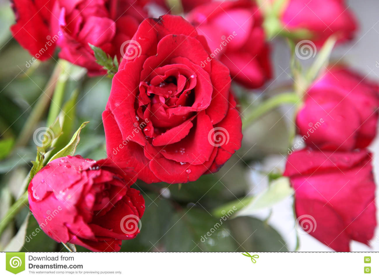 Red Bright Beautiful Flowers Roses Thailand Stock Photo Image Of