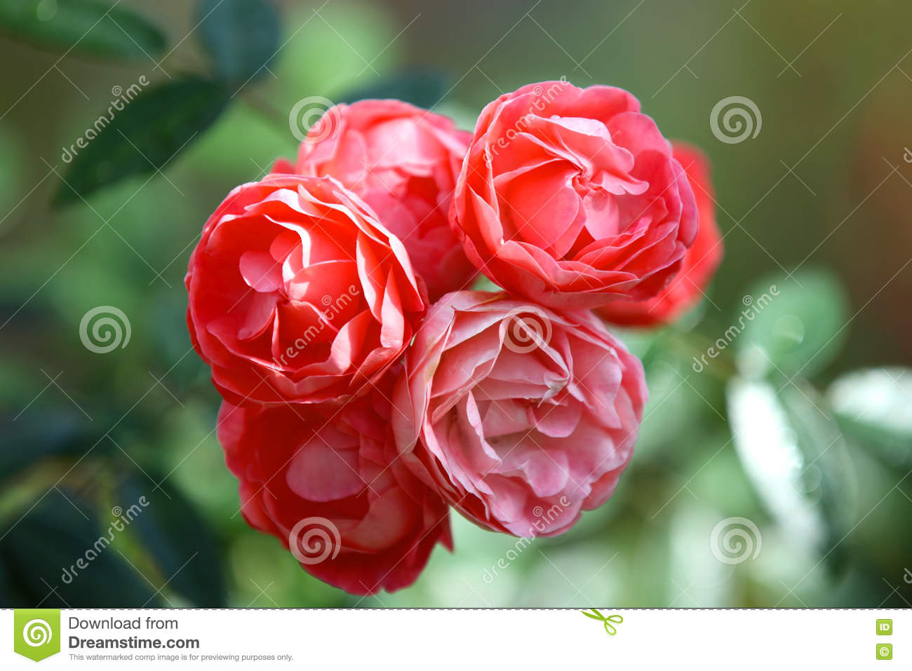 Red Bright Beautiful Flowers Roses Thailand Stock Image Image Of