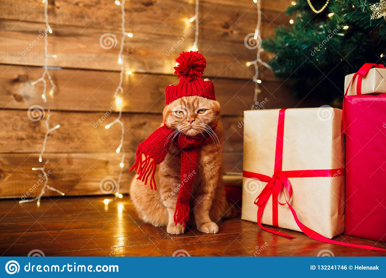 Red british cat in knitted hat and scarf sitting under Christmas tree and present boxes.