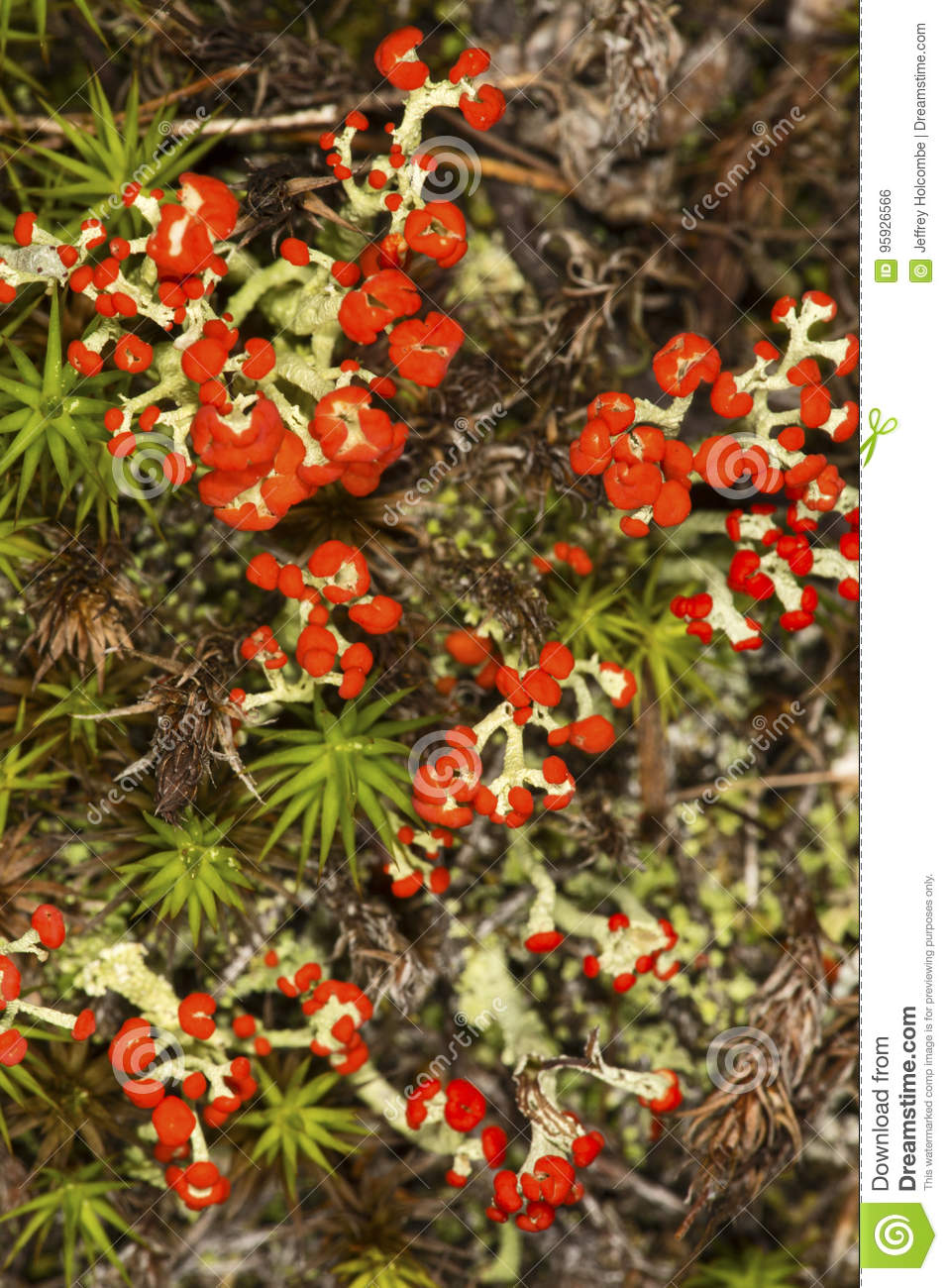 Red British soldier lichen from New London, New Hampshire.