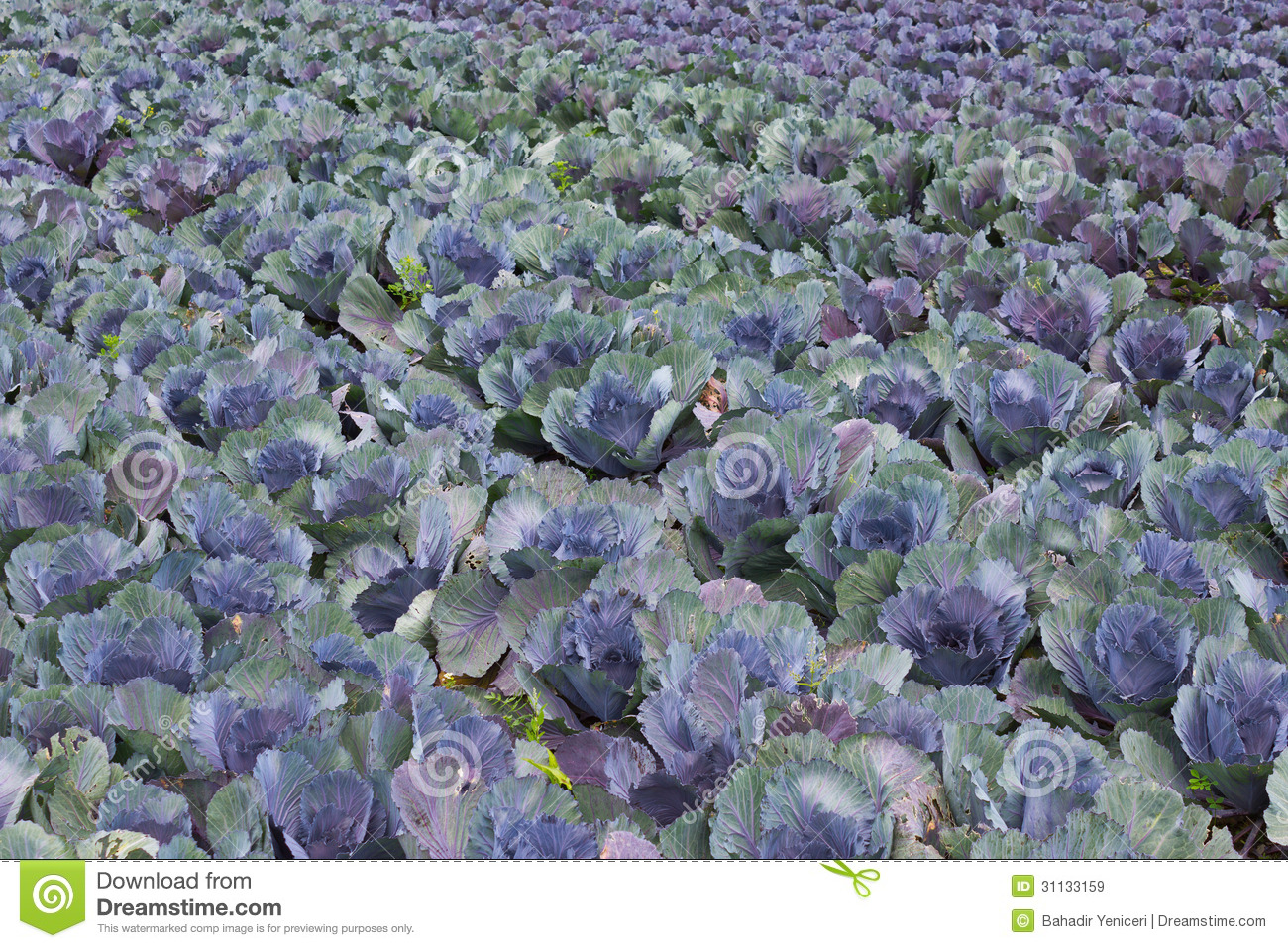 32  Great Red Cabbage for Red Cabbage Farm  599kxo