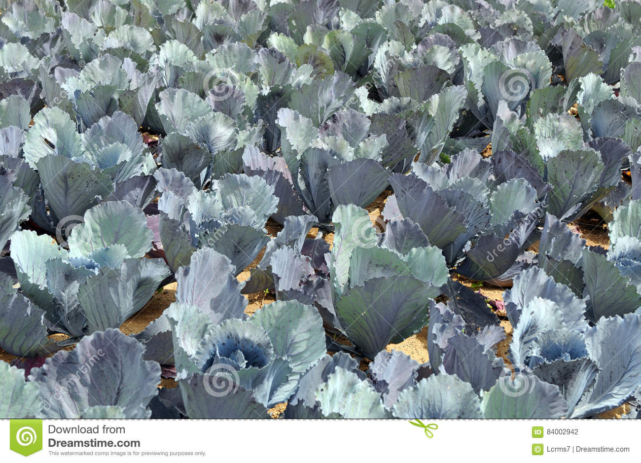 Red Cabbage On Field Growing Stock Photography