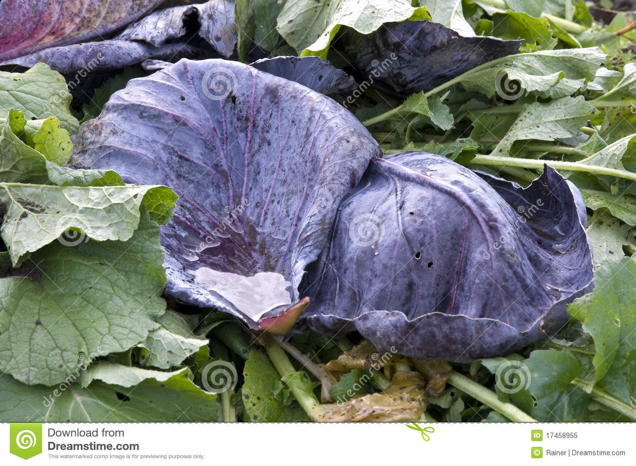 Red Cabbage Leaves Royalty Free Stock Photo - Image: 17458955