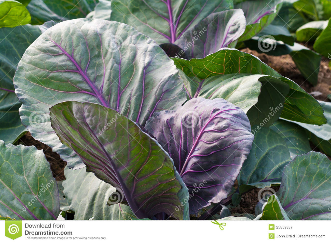 Red Cabbage Plant Royalty Free Stock Photography - Image ...