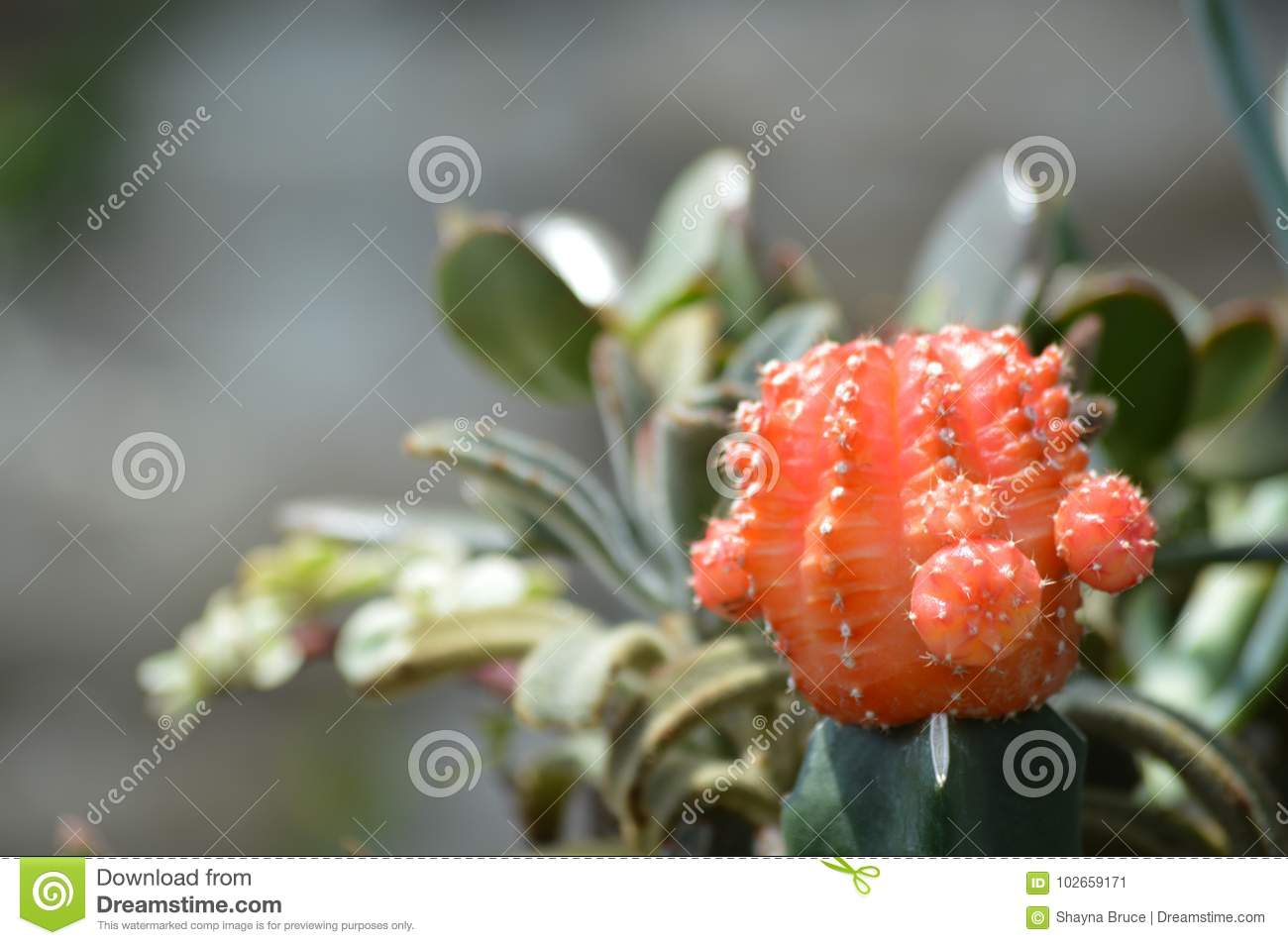 red cacti stock image image of succulents cacti nature 102659171
