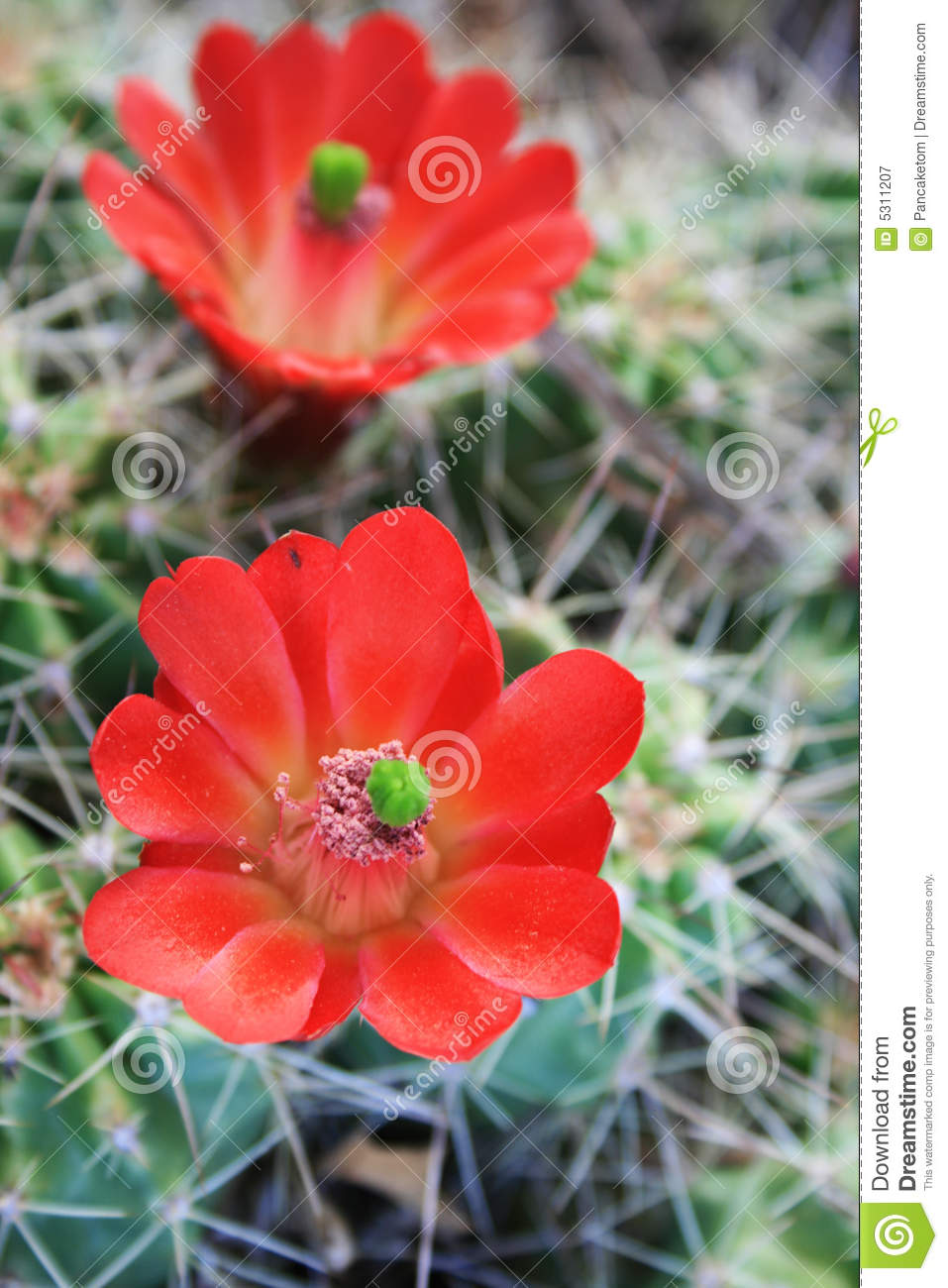 Closeup of red cactus flowers with the focus on the closer flower.