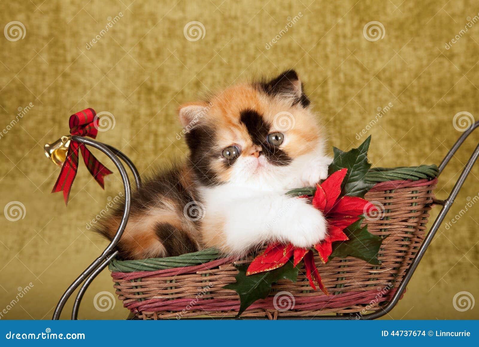 Red Calico Persian Kitten Sitting Inside Christmas Sleigh Green