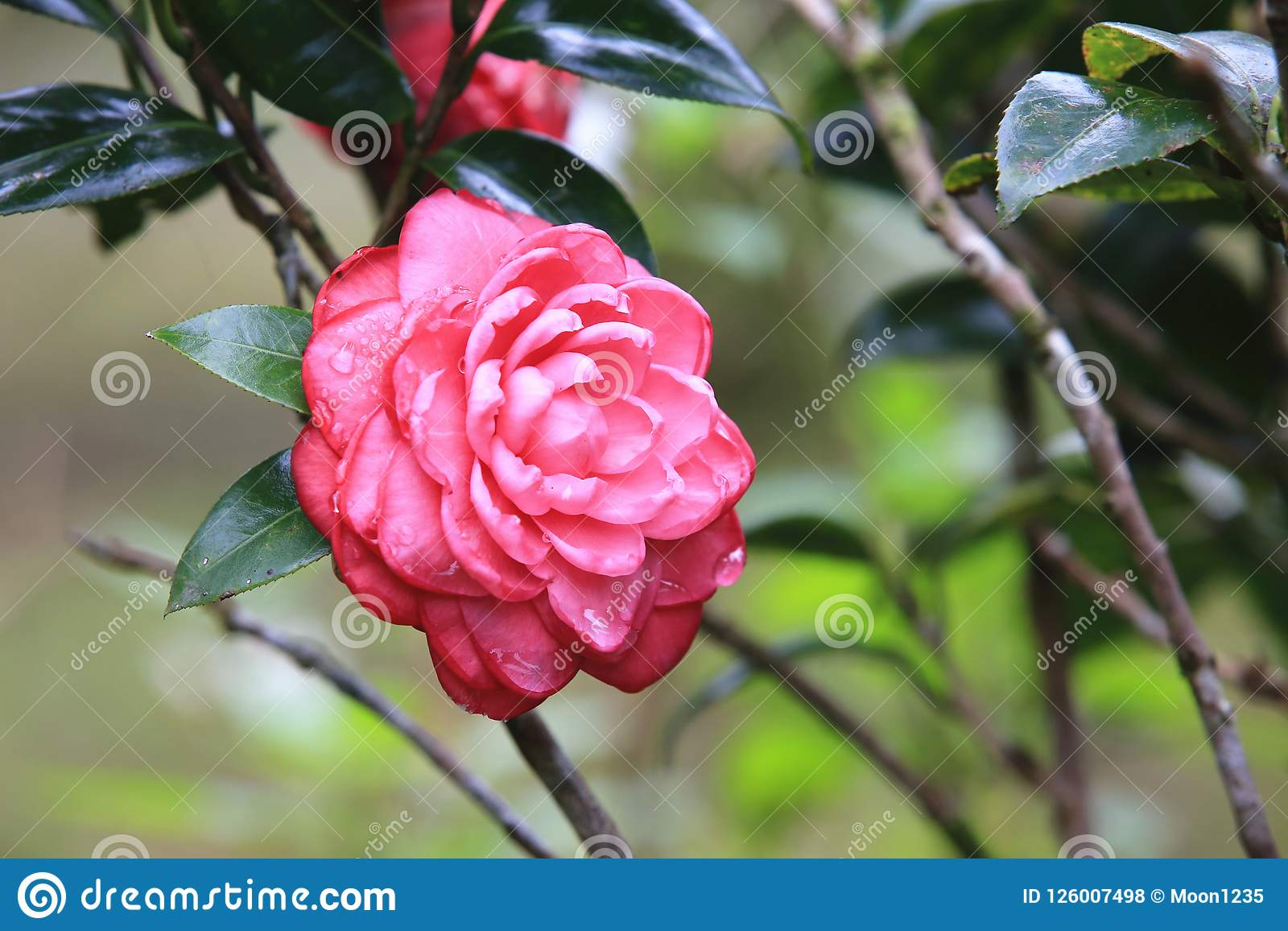 Red Flower Camellia Picturesque Flowering Picturesboss