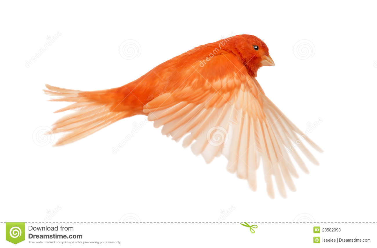 Download Red Canary Serinus Canaria, Flying Stock Photo - Image of looking, side: 28582098