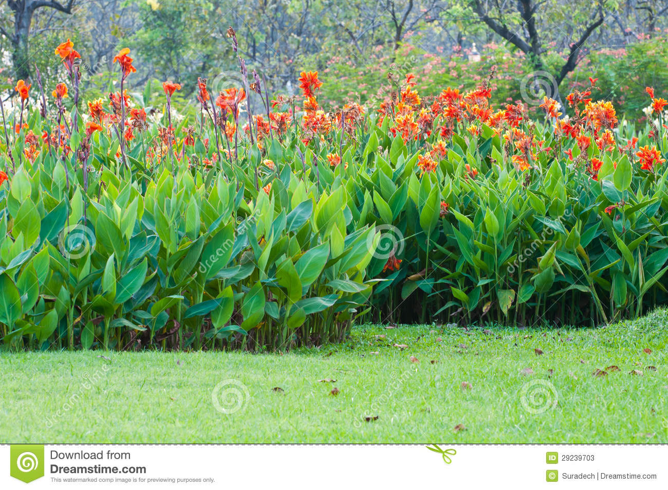 Red Canna Flower Stock Photos Image 29239703