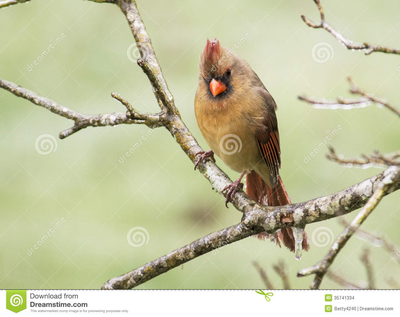 A red Cardinal female sits in an ice storm.