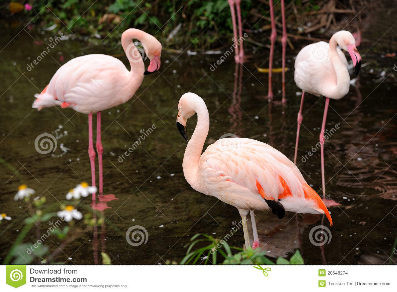 Red caribbean flamingo
