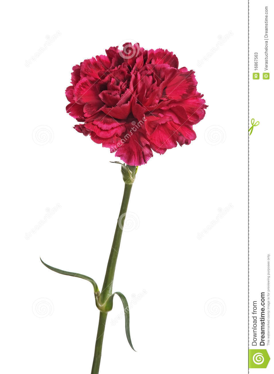 red carnation flower stock photos image 16867563