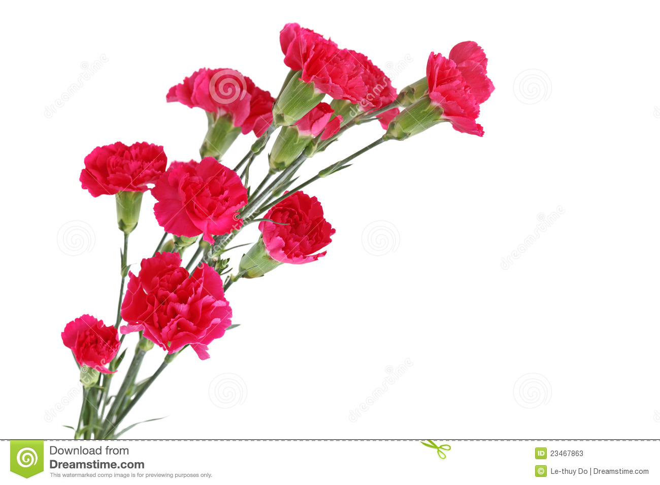 Red Carnation Dianthus caryophyllus flowers isolated on white.