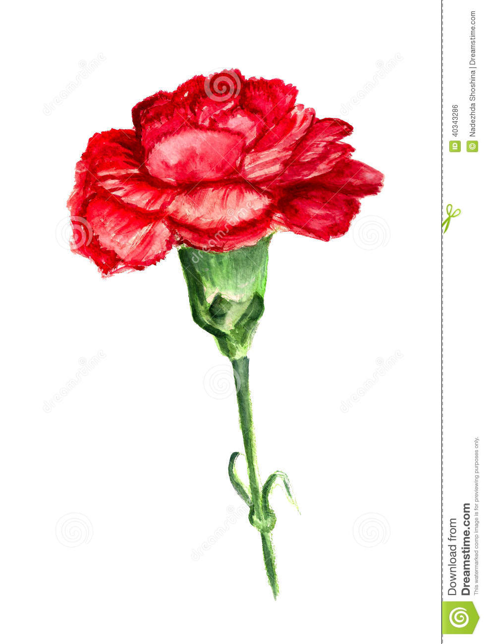 Watercolor image of red flower of carnation on white background.