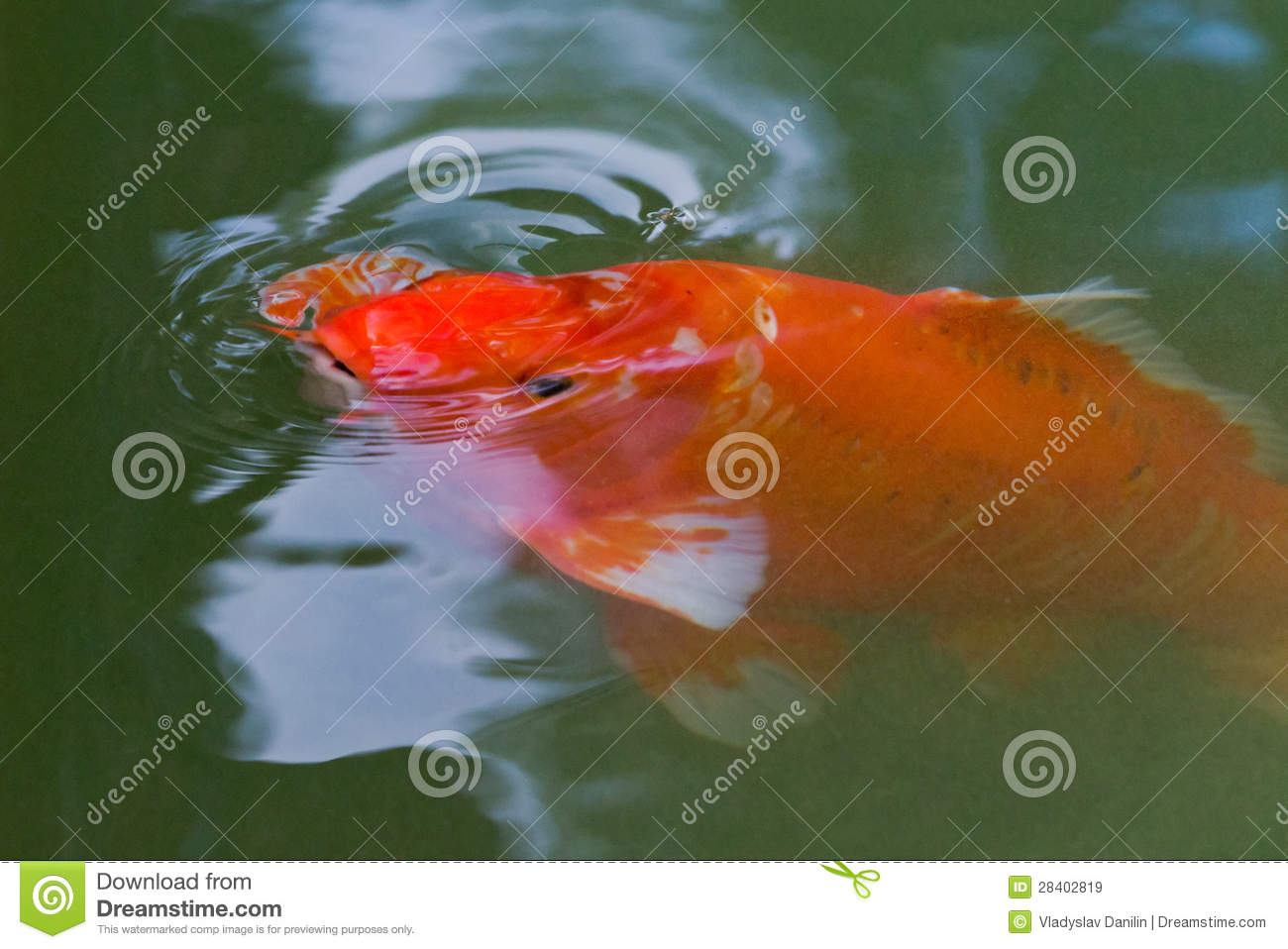 Red carp koi fish stock image image of scales chinese for Red koi carp