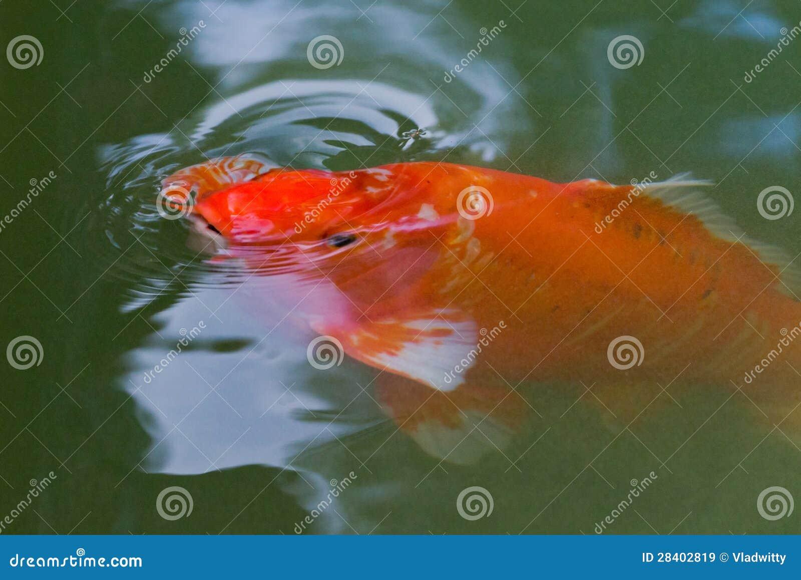 Red carp koi fish royalty free stock images image 28402819 for Red koi fish